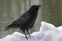 Corneille noire (source : wikipédia)